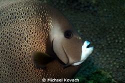 Gray Angelfish on the Big Coral Knoll off the beach in Fo... by Michael Kovach 